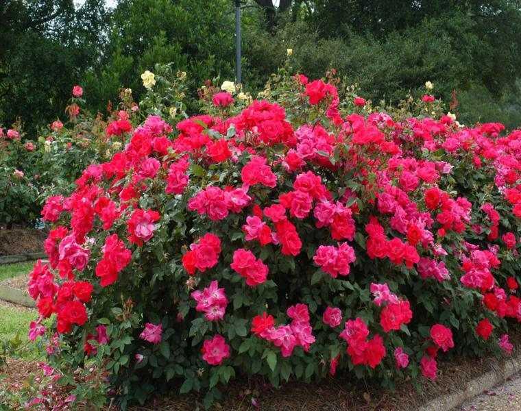 bonito arbusto de color rosas