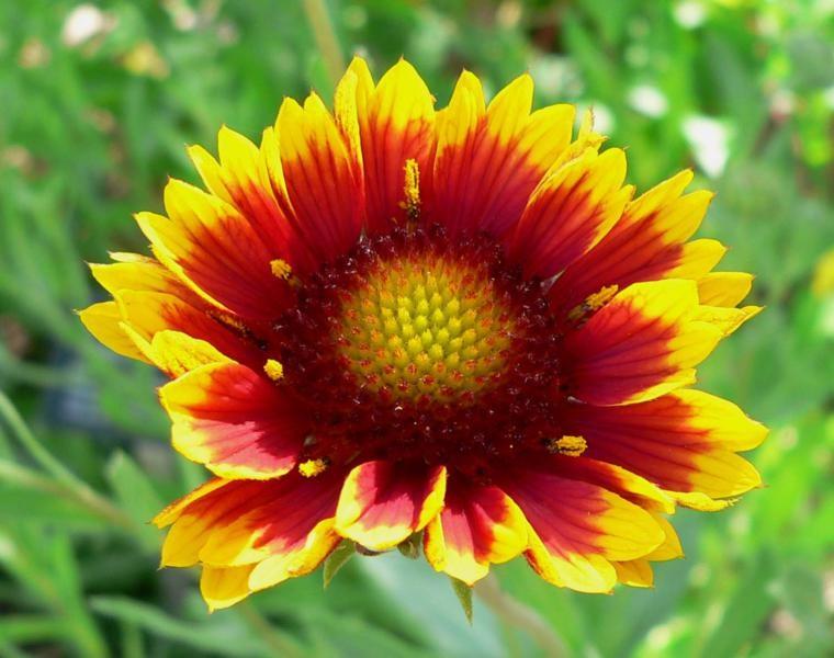 estupenda flor gaillardia Gallardia