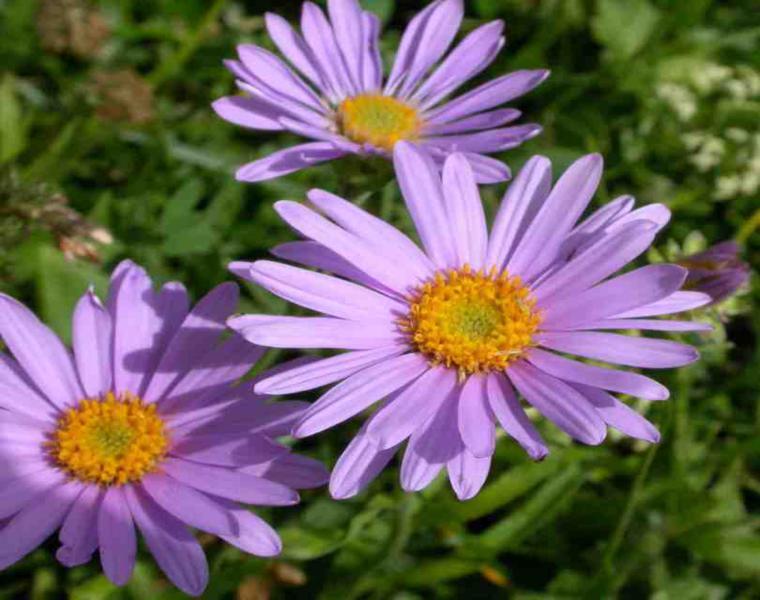 estupenda flor aster lila verano