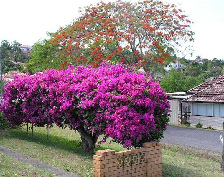 árbol de Buganvilla