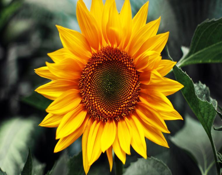 estupendo girasol color amarillo