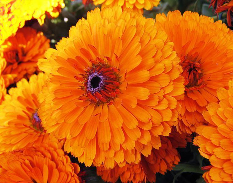 flor marigolds maravilla color naranja