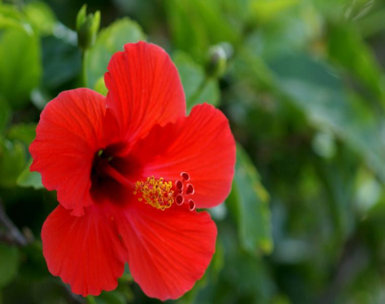 flor Hibisco color rojo