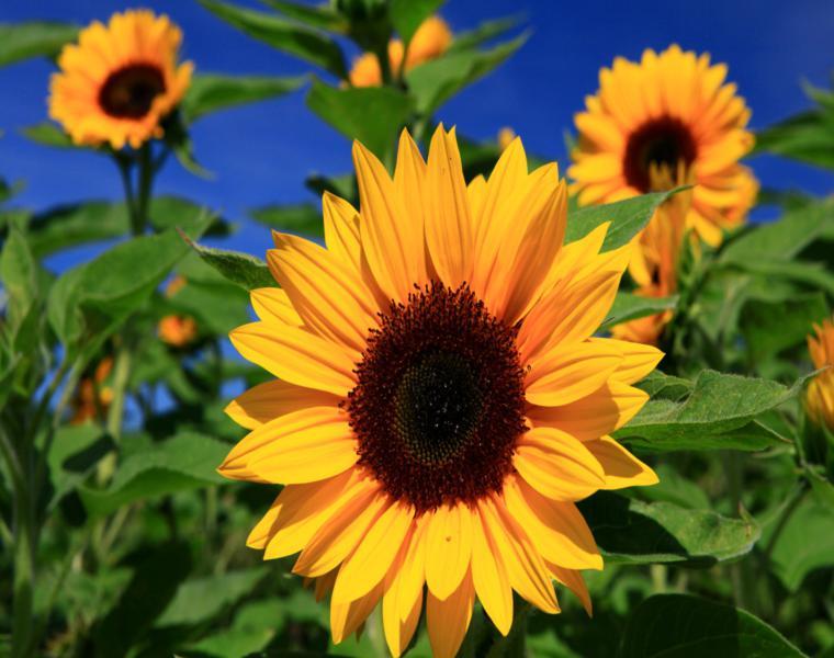 flor verano girasol color amarillo