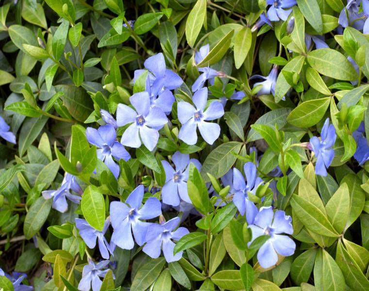 flores periwinkle color violeta arbusto