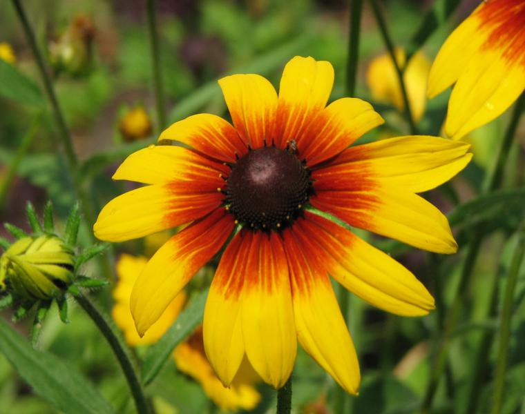 flores de verano la Gloriosa daisy