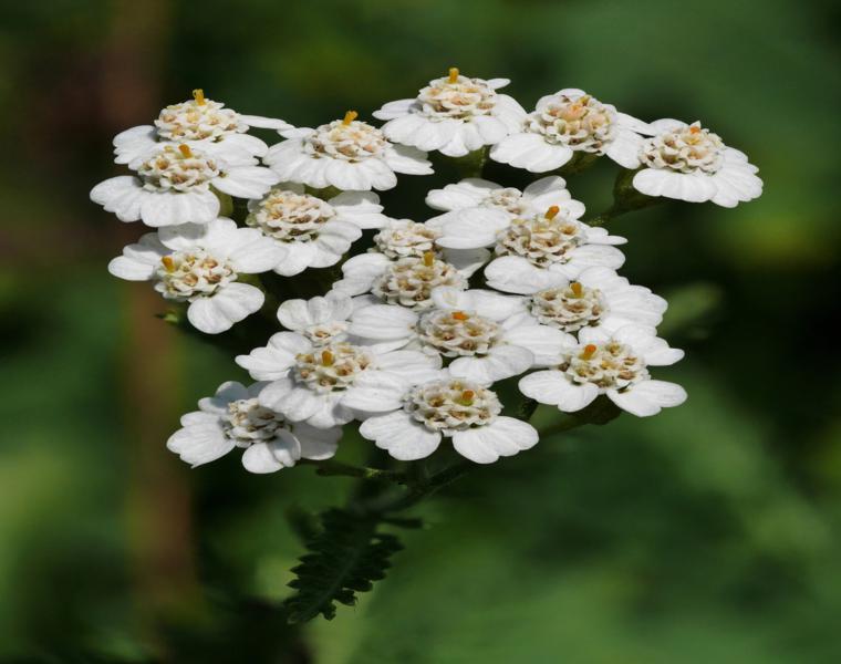 flor Milenrama