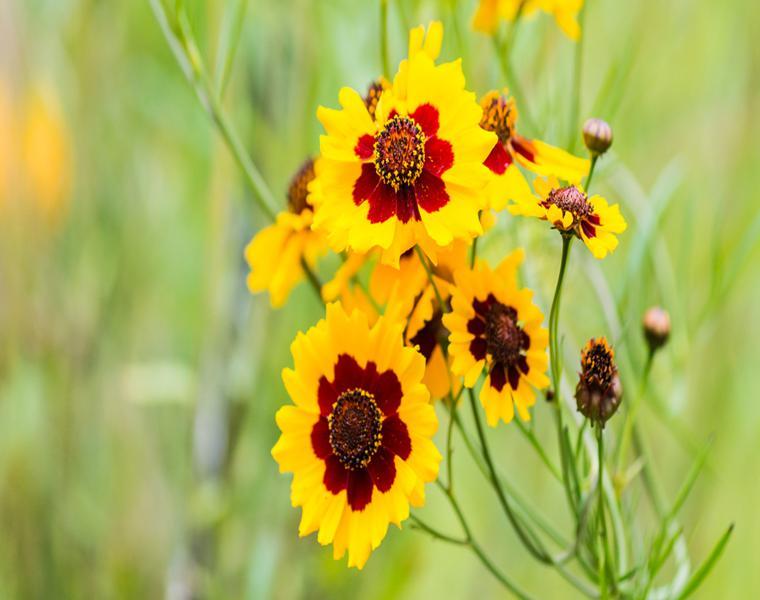 flores de verano Coreopsis amarilla