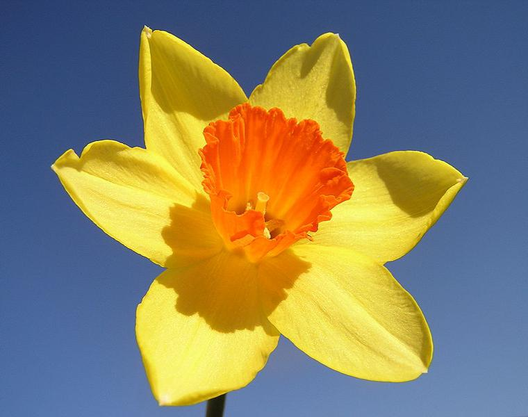 narciso color amarillo naranja