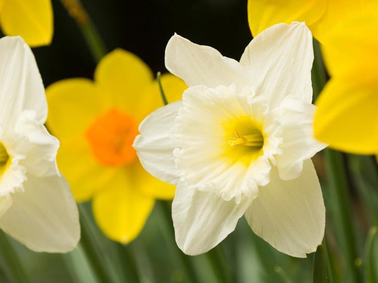 narcisos color amarillo blanco