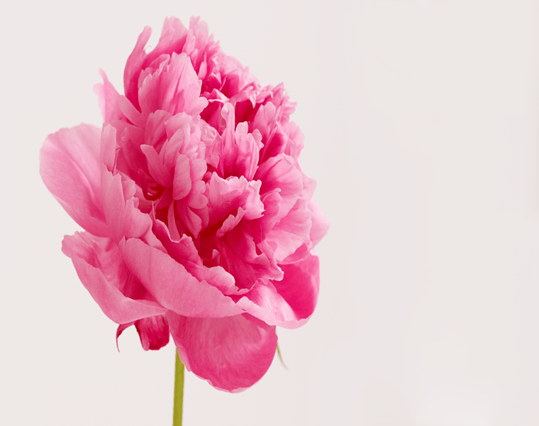 peonía color rosa chicle