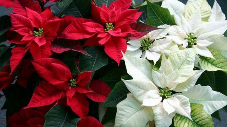 plantas de interior con flor roja decorar