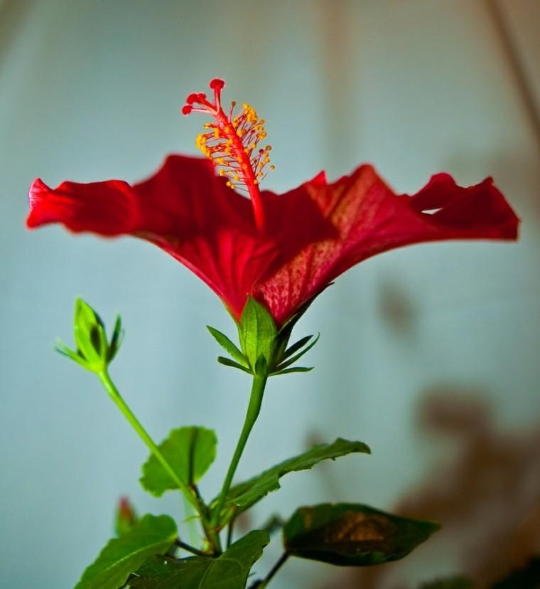 plantas de interior con flor roja