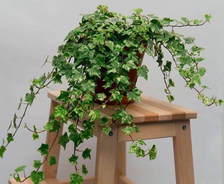 hiedra planta decoracion facil cuidad opciones ideas