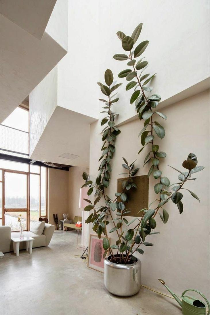 plantas de interior arbol caucho alto llamativo ideas