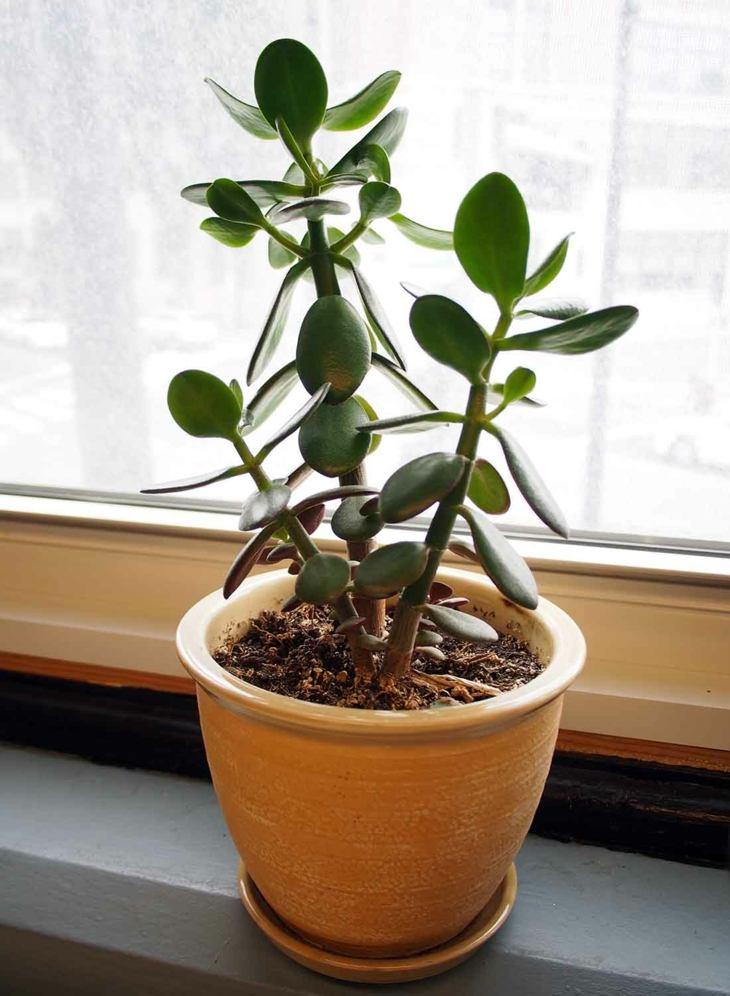 plantas de interior arbol jade opciones ideas