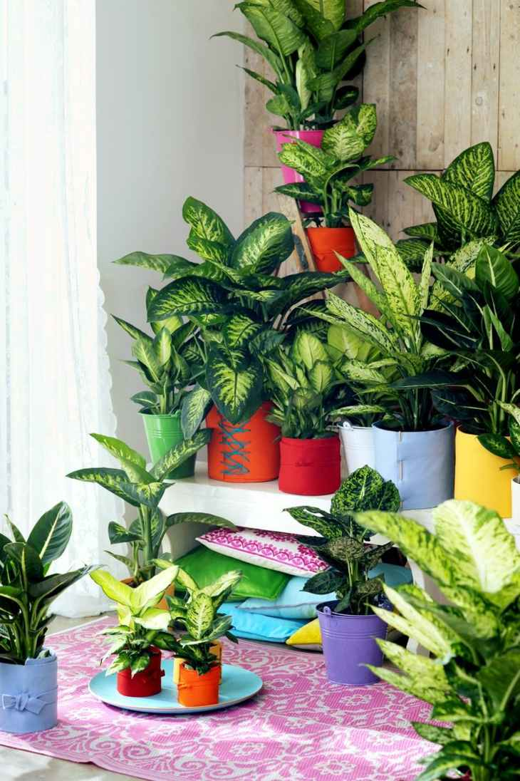 plantas de interior diefembaquia bella decoracion casa ideas
