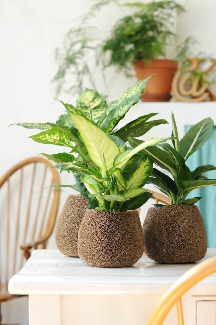 plantas de interior diefembaquia macetas bonitas ideas