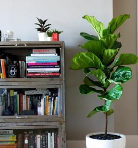 plantas-de-interior-ficus-maceta-blanca