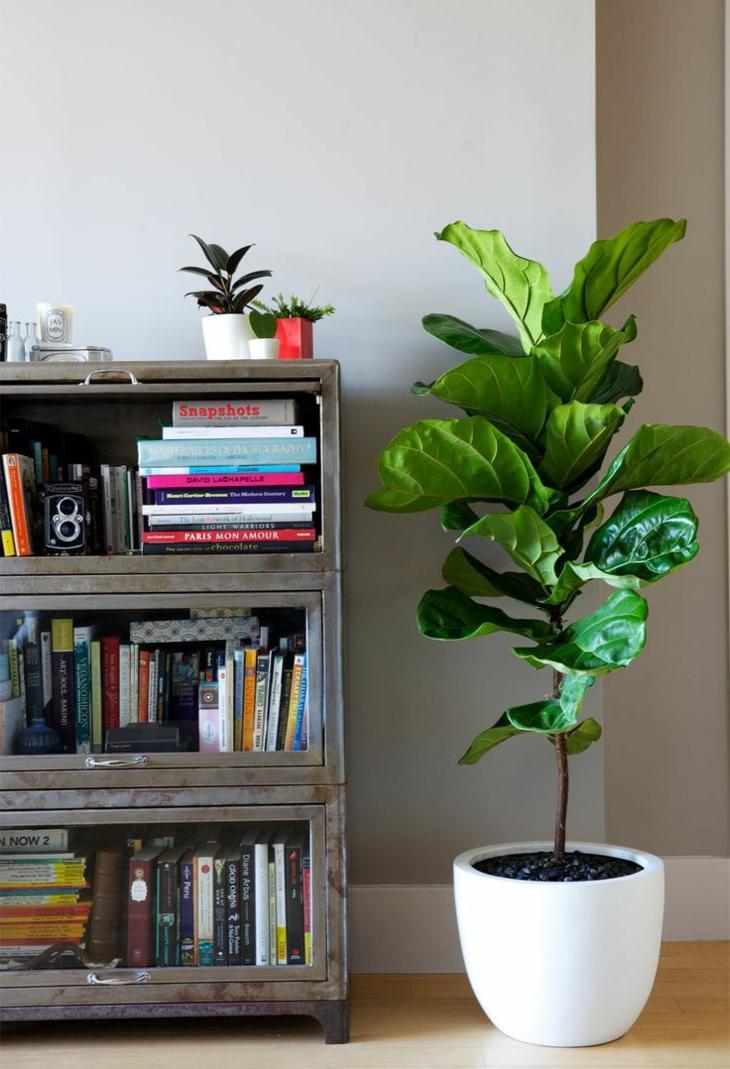plantas de interior ficus maceta blanca ideas