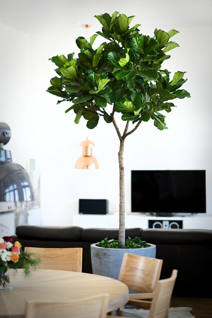plantas de interior ficus opciones disenos modernos ideas