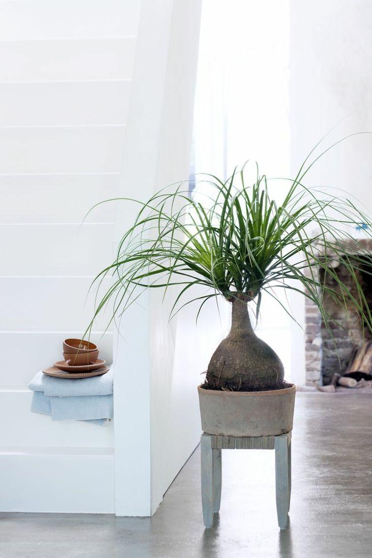 plantas de interior pata elefante diseno ideas