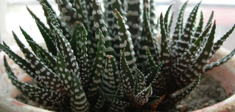 cactus decorativos casa