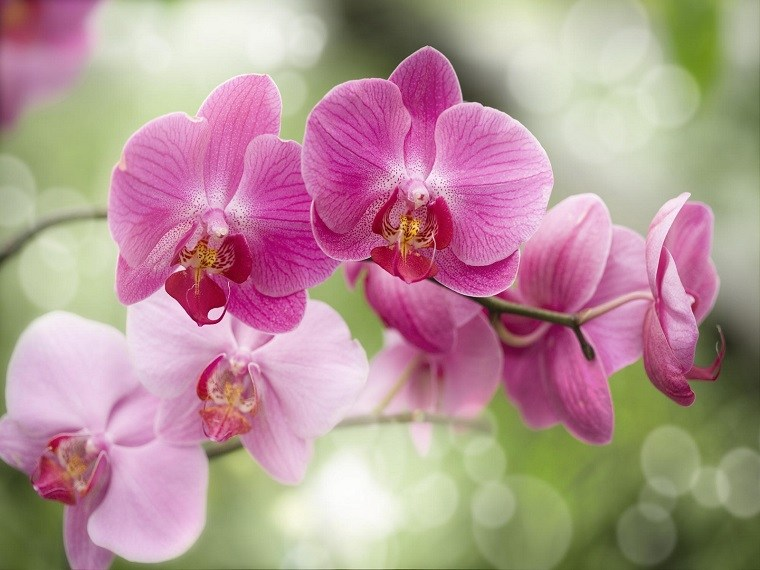 orquídeas rosa