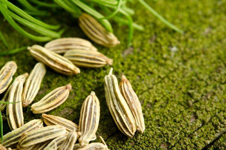 cultivar hinojo