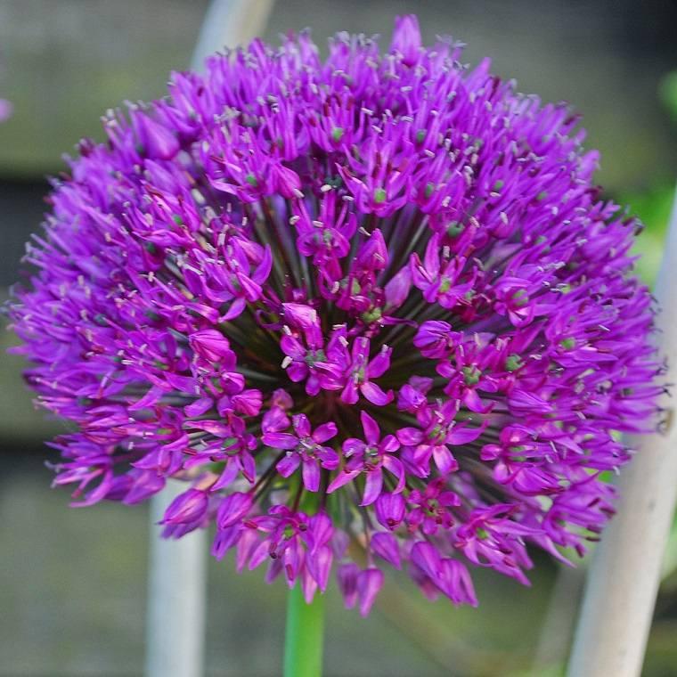allium-hollandicum-flores-cuidar-jardin-opciones