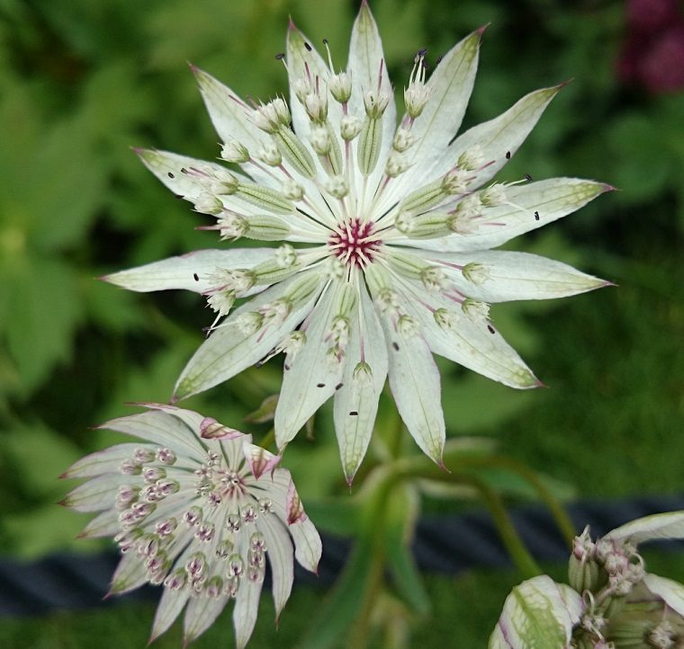 astrantia-major-planta-jardin-cuidados-ideas