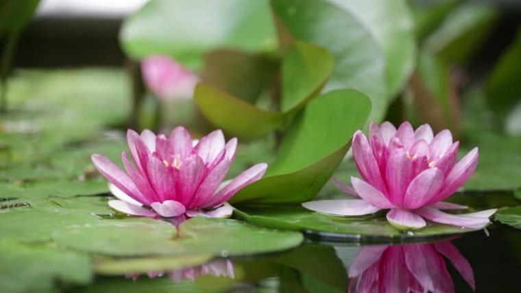 flores de lirios de agua