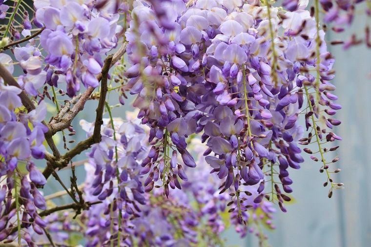 como-cultivar-planta-bella-fragante-flores