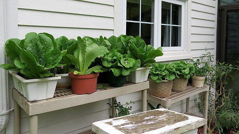 cultivar-lechuga-balcon-opciones