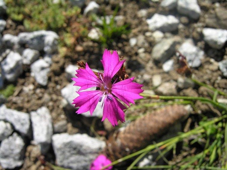 dianthus carthusianorum-flor-jardin