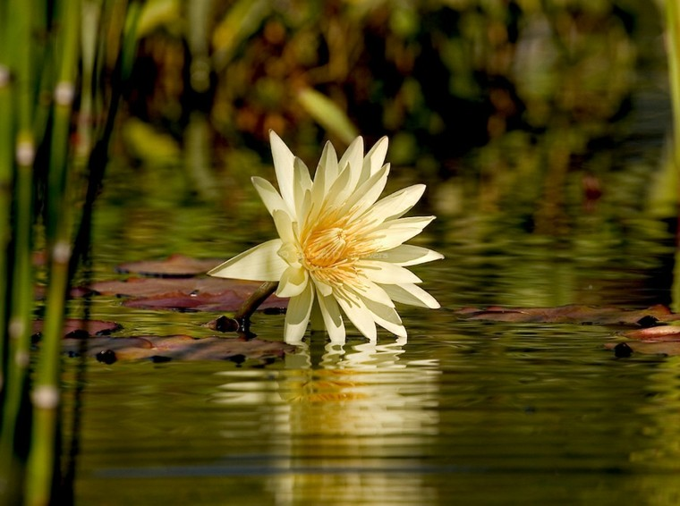 preciosa flor de nenúfar