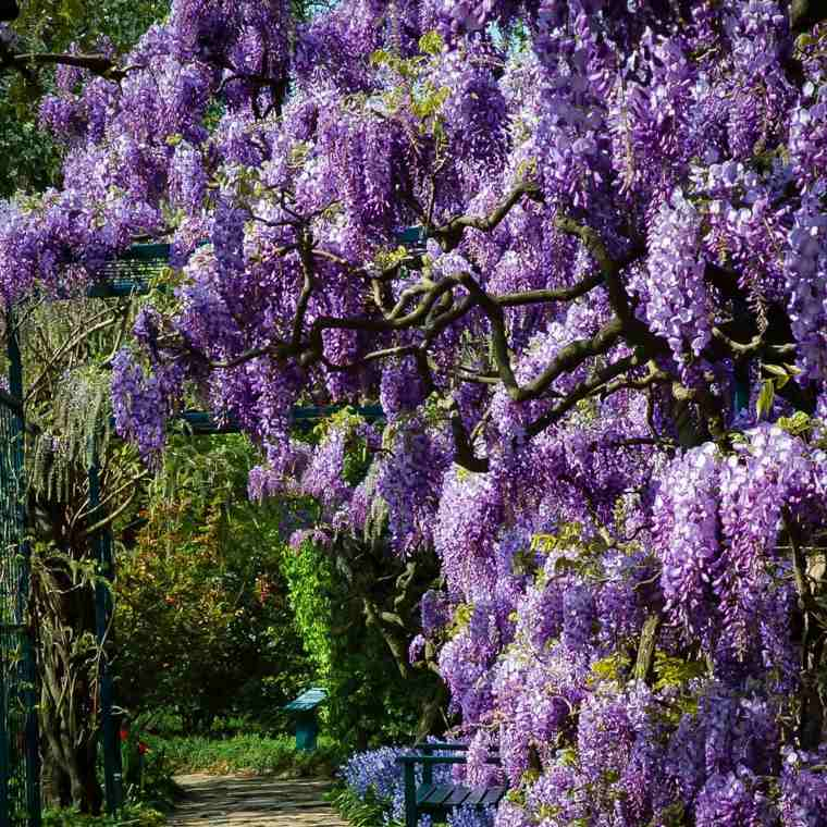 glicina planta-jardin-bella-moderna