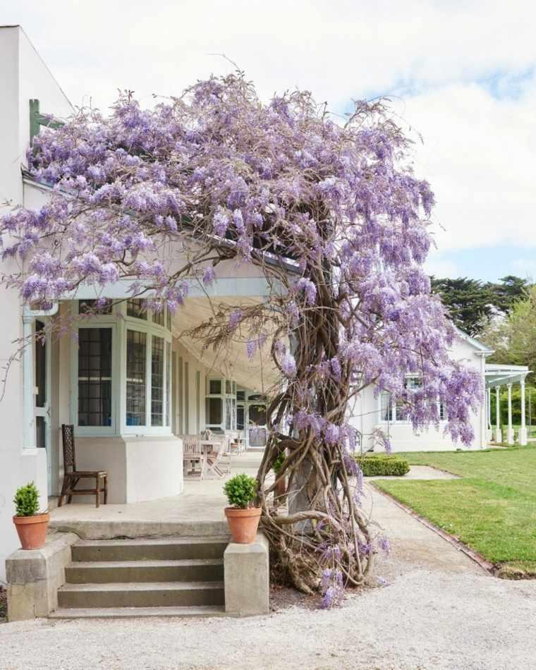 glicina planta-jardin-entrada-casa-ideas