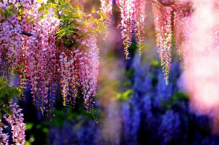 glicina planta-jardin-flores-originales-estilo