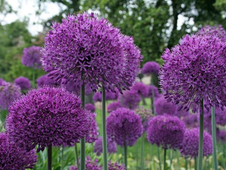 imágenes de flores bonitas-allium-hollandicum