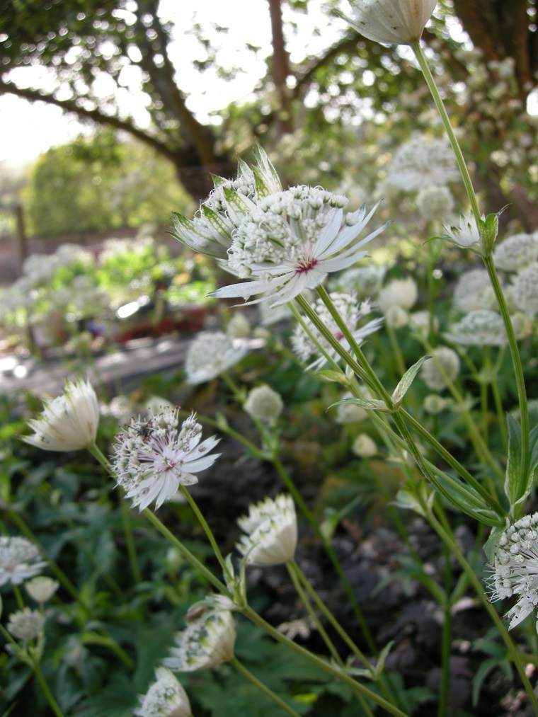 imágenes de flores bonitas astrantia-major