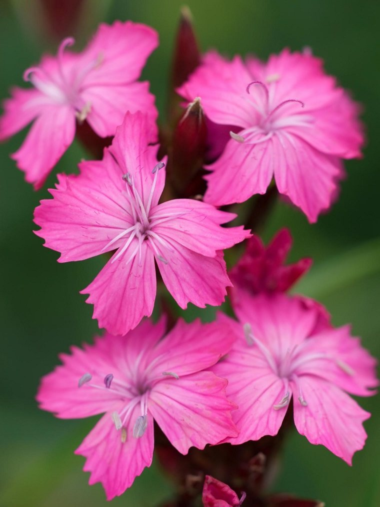 imagenes de flores bonitas-dianthus-carthusianorum