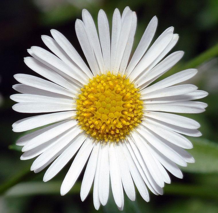 imagenes-de-flores-bonitas-margarita-cimarrona