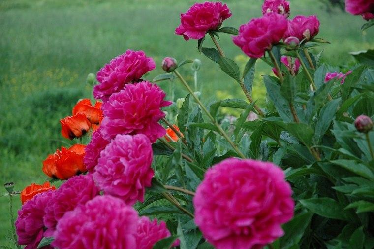 Imágenes de flores bonitas-paeonia-lactiflora