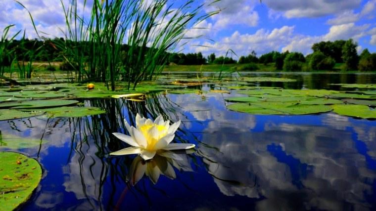 estanque con nenufares