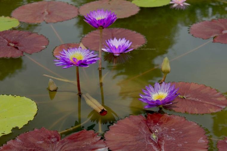flores de nenúfar