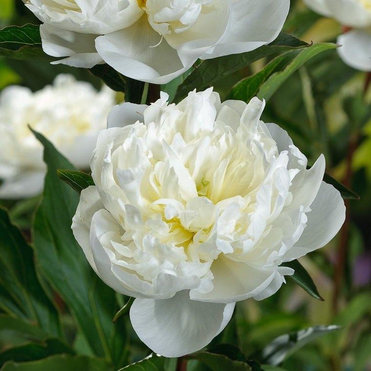paeonia-lactiflora-blanca-flor-bella