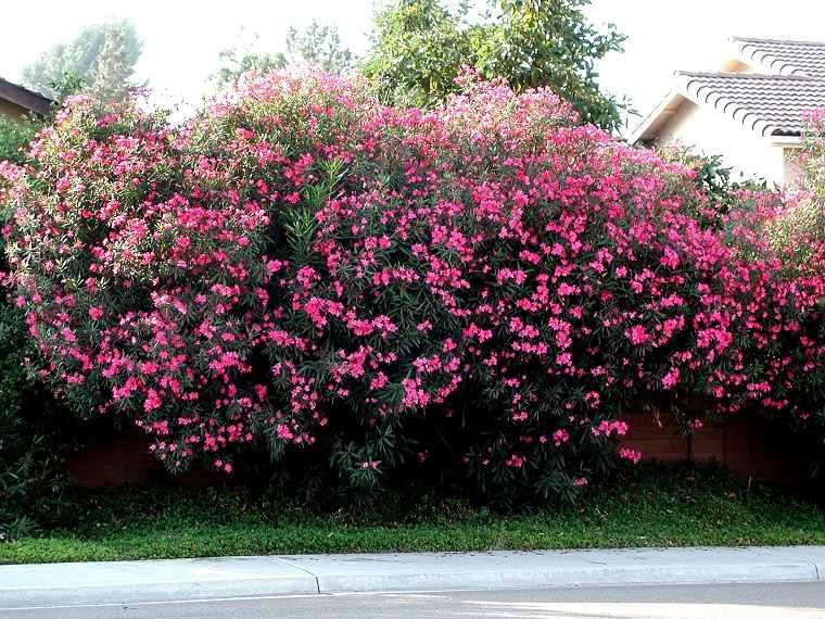 plantas de jardín-arbustos-adelfa-bella