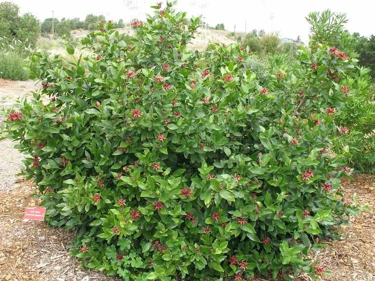 plantas-de-jardin-arbustos-calycanthus