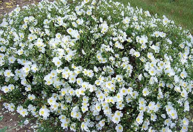 plantas-de-jardin-arbustos-cistus-jara